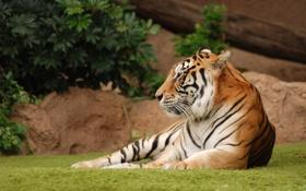 Обои отдых, спокойствие, лужайка, Тигрица