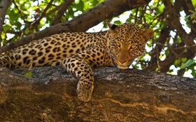 Обои морда, лапа, хищник, пятна, леопард, дикая кошка