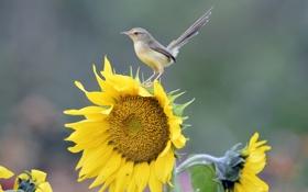 Обои цветок, макро, птица, подсолнух, хвост