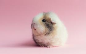 Обои фон, розовый, морская свинка