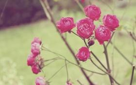 Обои розы, куст, лепестки, цветы