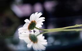 Обои цветок, стекло, макро, отражение, фото, фон, обои