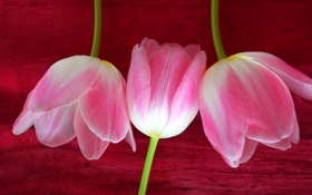 Обои тюльпан, лепестки, стебель