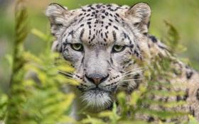 Картинка дикая кошка, морда, снежный барс, ирбис, хищник, взгляд