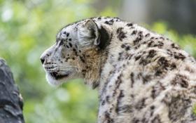 Картинка снежный барс, ирбис, ©Tambako The Jaguar, кошка