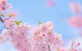 Картинка весна, ветки, розовые, цветение, дерево, цветы