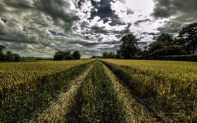 Обои поле, лето, облака, деревья, колея, колосья