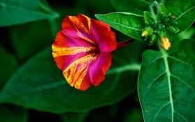 Обои листья, цветок, лепестки, природа