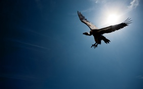 Обои Vulture, wings, голубое небо, солнце, птица, полет, blue sky