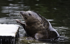 Обои вода, снег, тюлень