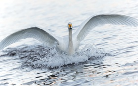 Обои вода, брызги, крылья, лебедь
