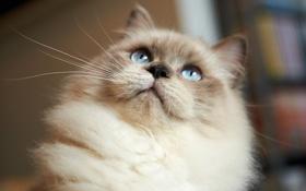 Картинка кошка, взгляд, мордочка, сиамская