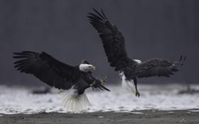 Картинка птицы, крылья, клюв, белоголовый орлан