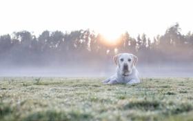 Картинка поле, взгляд, свет, природа, туман, друг, собака