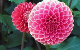 Картинка цветок, розовый, георгин