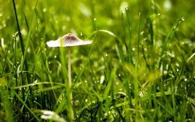 Обои трава, макро, природа, гриб