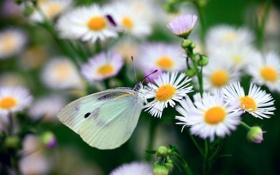Обои бабочка, метелик, макро, цветы