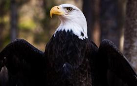Картинка взгляд, птица, орёл