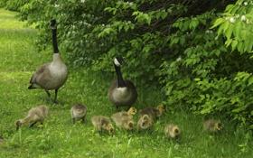 Обои зелень, трава, птицы, прогулка, кусты, птенцы, на природе