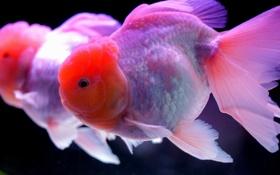 Обои аквариум, рыбка, золотая, вода