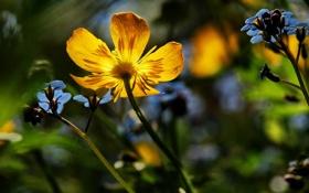 Обои цветы, синие, жёлтые