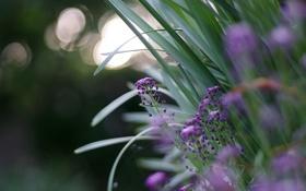 Картинка трава, макро, цветы, блики, размытость, сад, Сиреневые