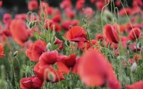 Картинка розовые, яркие, красные, маки, поле, цветы