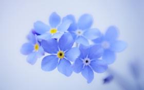 Обои цветы, фон, лепестки, голубые, незабудки