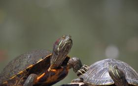 Обои природа, черепаха, пара, рептилия