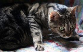 Обои кот, смотрит, серая, кошка