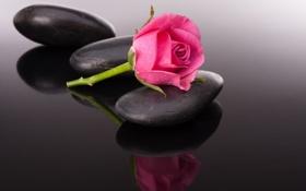 Обои цветок, бутон, flower, stone, камешек, pink rose, розовая розочка
