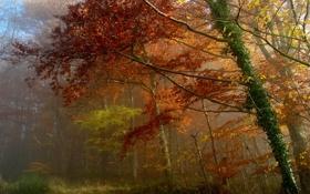 Картинка листья, лес, осень, деревья, туман