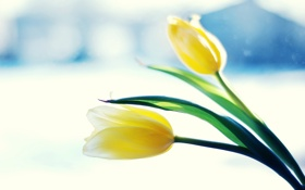 Обои макро, цветы, желтые, пара, тюльпаны, два