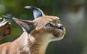 Картинка кошка, взгляд, морда, каракал, степная рысь, ©Tambako The Jaguar