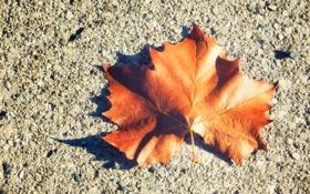 Обои лист, листок, клен