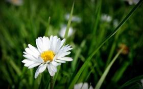 Обои цветок, лето, природа, ромашка, травка, цветение