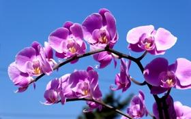 Обои сиреневый, небо, орхидея, веточка