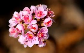 Обои цветы, фон, розовые, соцветие, Hans Holt