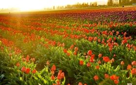 Обои закат, тюльпаны, Washington, LaConner