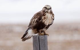 Картинка птица, зимняк, ястреб, Канюк, взгляд, портрет
