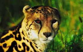 Обои взгляд, морда, королевский гепард, king cheetah