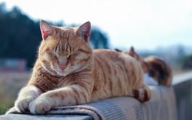 Обои кот, рыжий, отдых, лежит