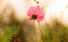 Обои трава, стебель, поле, лепестки, розовый, поляна, цветок