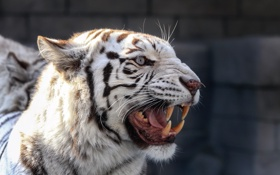 Обои тигр, клыки, оскал