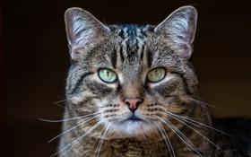 Картинка кот, взгляд, серый, фон, портрет, полосатый
