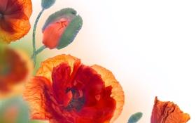 Картинка цветы, маки, бутоны, цветение, полевые цветы