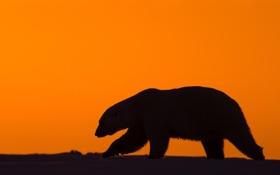 Обои снег, закат, природа, хищник, северный полюс, белый медведь