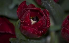 Обои цветок, капли, роса, тюльпан, лепестки