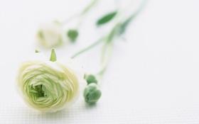 Обои цветок, бутон, зелёный, бледный, необычный