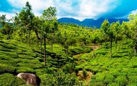 Обои зелень, деревья, горы, поля, Индия, Kerala